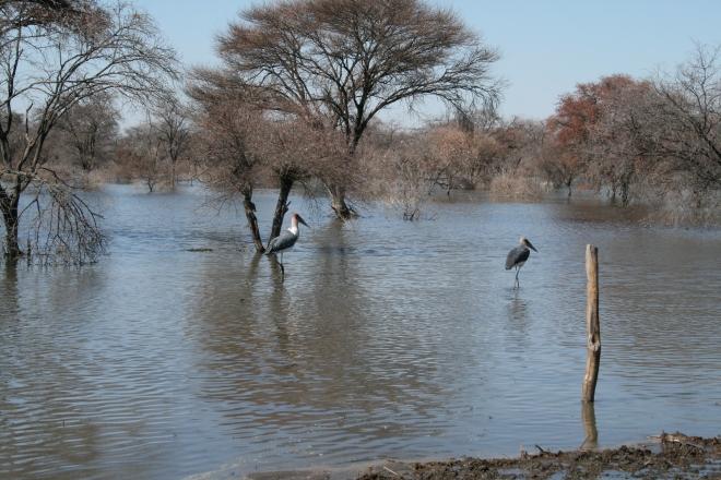Marabou Stork (Leptoptilos crumeniferus), Lake Ngami, Botswana