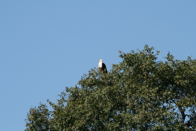 African Fish Eagle (Haliaeetus vocifer), Kavango River, Namibia
