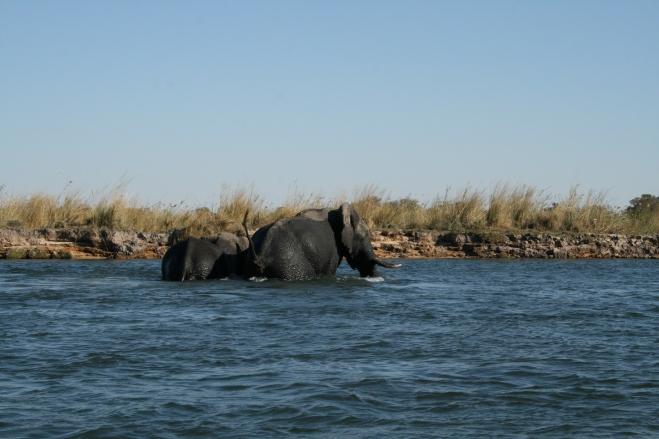 African elephant (Loxodonta africana), Kavango River, Namibia