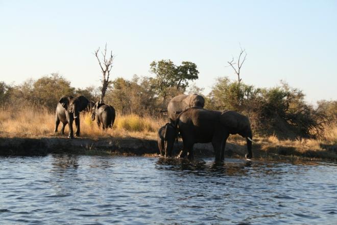 African Elephant (Loxodonta africana), Kwando River, Namibia