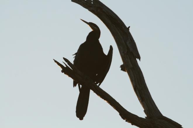 African darter (Anhinga runga). Kruger National Park, South Africa