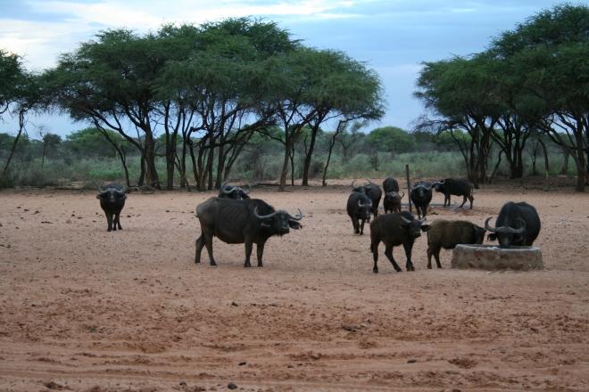 African buffalo (Syncerus caffer), Waterberg Plateau National Park, Namibia