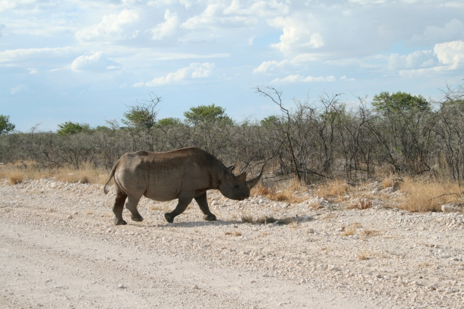 Black rhinoceros, southwestern subspecies (Diceros bicornis occidentalis), Etosha National Park, Namibia