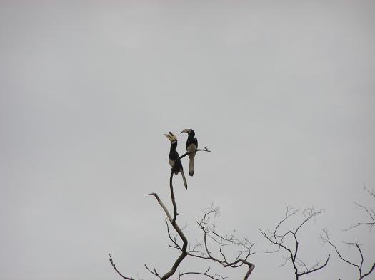 Oriental pied hornbill (Anthracoceros albirostris). Sabah, Borneo, Malaysia. 2006
