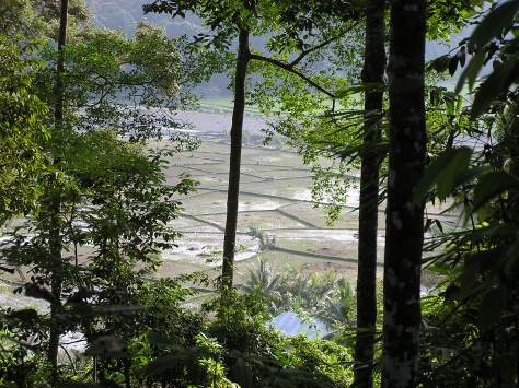 Rice paddies near Bukit Barisan Selatan National Park, Sumatra, Indonesia. 2006.