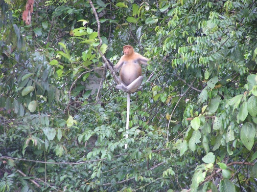 Proboscis monkey (Nasalis larvatus), Sabah, Borneo, Malaysia. 2006