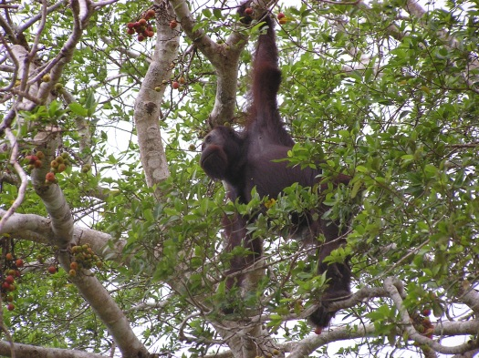 Bornean Orangutan (Pongo borneo), Sabah, Borneo, Malaysia. 2006