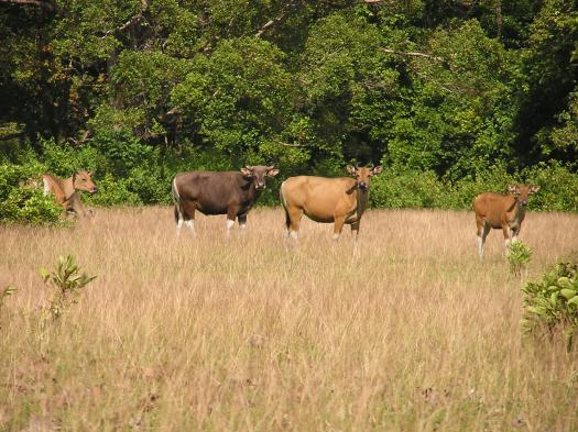 Banteng (Bos javanicus), wild cattle native to Asia. Ujung Kulon National Park, Java, Indonesia. 2005