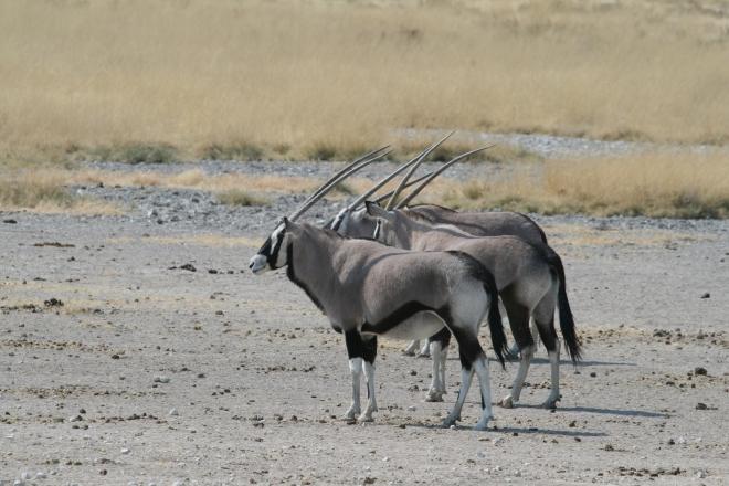 Gemsbok (Oryx gazella), Etosha National Park, Namibia.