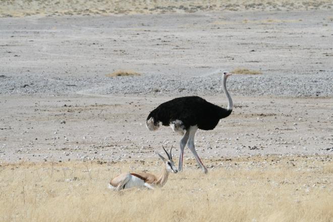 Ostrich (Struthio camelus) and Springbok (Antidorcas marsupialis), Etosha National Park, Namibia