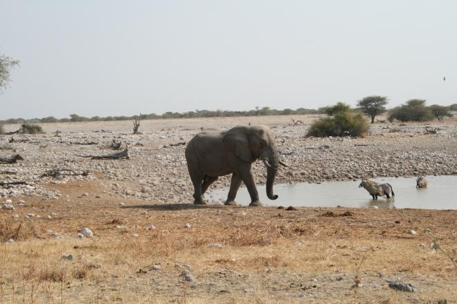 African elephant (Loxodonta africana) and Gemsbok (Orxy gazella), Etosha National Park, Namibia