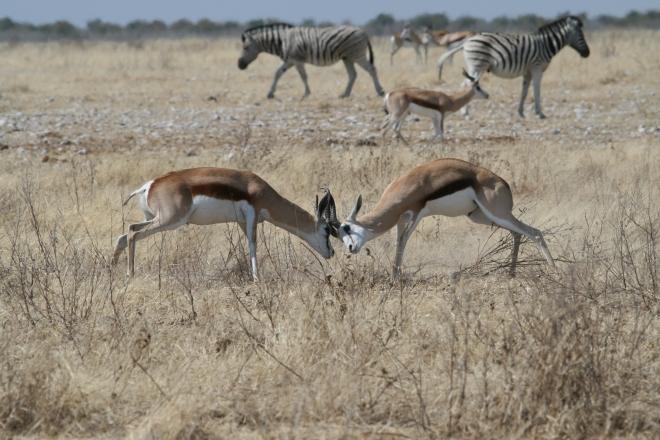 Springbok (Antidorcas marsupialis) males fighting. Common zebra (Equus quagga) in background. Etosha National Park, Namibia
