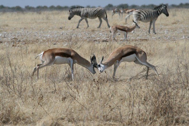 Springbok (Antidorcas marsupialis) males fighting. Common zebra (Equus quagga) in background. Etosha National Park, Namibia