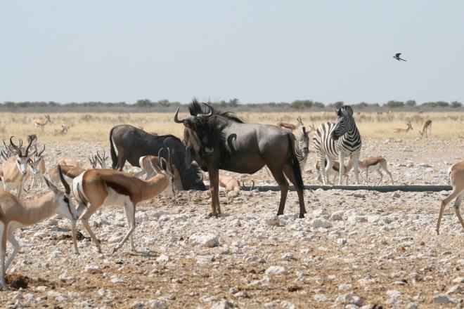Springbok (Antidorcas marsupialis ), Black wildebeest (Connochaetes gnou), and Common zebra (Equus quagga ) at water hole, Etosha National Park, Namibia.