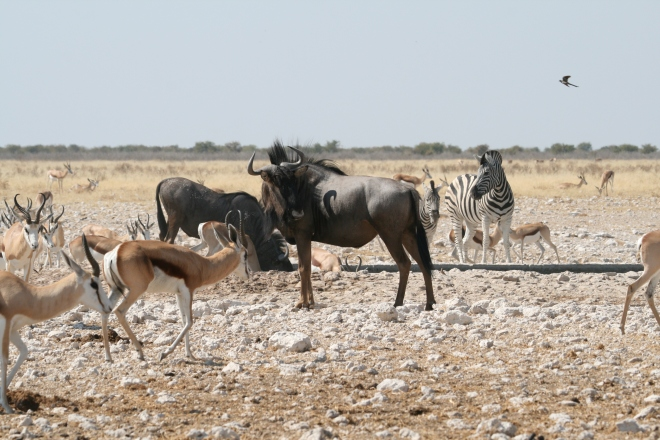 Springbok (Antidorcas marsupialis ), Black wildebeest (Connochaetes gnou), and Common zebra (Equus quagga ) at water hole, Etosha National Park, Namibia.