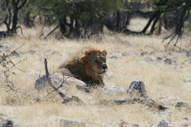 African lion ( Panthera leo), Etosha National Park, Namibia