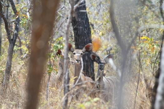 Greater Kudu (Tragelaphus strepsiceros), Lukwika Lumesule Game Reserve, Tanzania. 2007