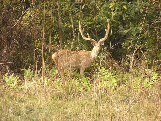 Chital, or spotted deer (Axis axis). Bardia National Park, Nepal. 2006