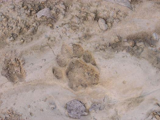 Tiger (Panthera tigris) pugmark. Bardia National Park, Nepal. 2007