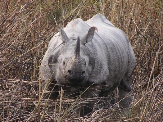 Greater one-horned rhinoceros (Rhinoceros unicornis), Kaziranga National Park, India. 2007