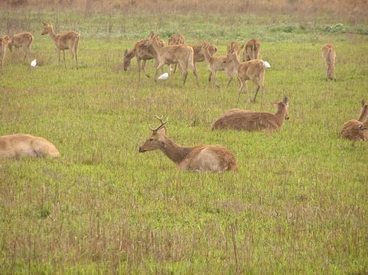 Barasingha, or swamp deer (Cervus duvaucelii), Kaziranga National Park, India 2007.
