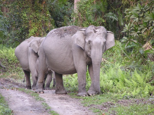 Asian elephants (Elephas maximus) in Kaziranga National Park, India. 2007
