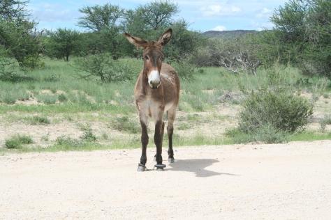 Roadside donkey. Namibia. 2008.
