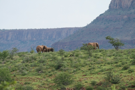 African elephant (Loxodonta africana). Klip River Valley, Namibia. 2008.