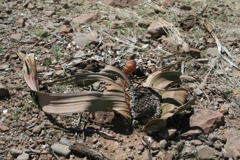 Welwitschia mirabilis, Namibia 2008.