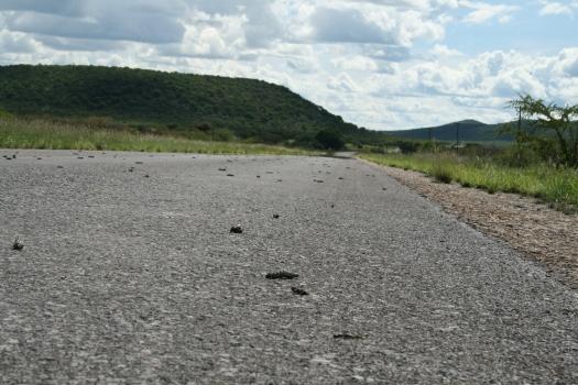 Mopane worm (Gonimbrasia belina) migration. Namibia. 2008.