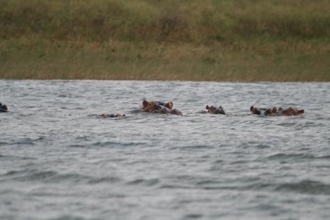 Hippos. Pongolapoort Dam. Kwa Zulu Natal, South Africa. 2008.