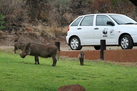 Warthogs. Pongola Nature Reserve, Kwa Zulu Natal. South Africa. 2008.