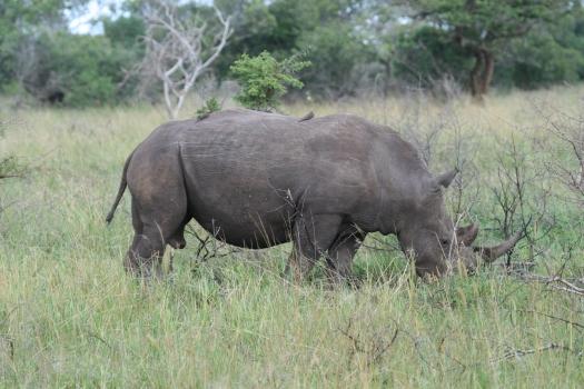 White rhino (Ceratotherium simum). Phinda Game Reserve, South Africa. 2008