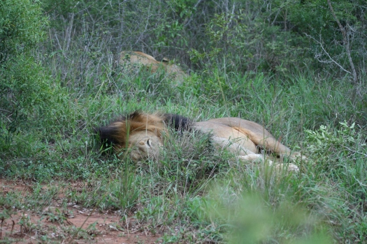 Sleeping lion. Phinda Game Reserve, South Africa. 2008