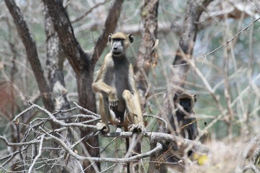 Yellow baboon (Papio cynocephalus), Lukwika Lumesule Game Reserve, Tanzania. 2007