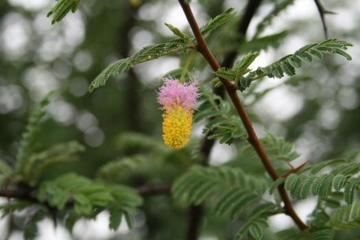 Acacia flower, Namibia