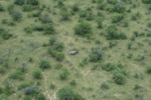 White rhino (Certatotherium simum), Etosha National Park, Namibia, from helicopter
