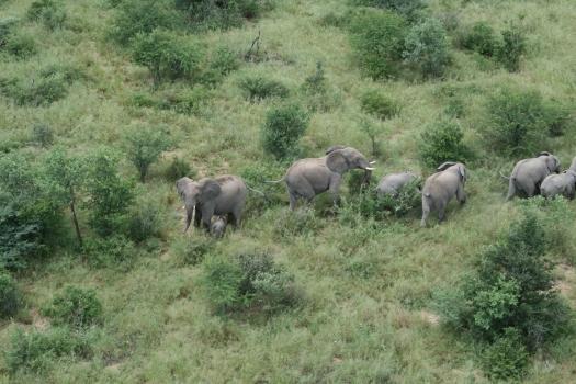 Elephants (Loxodonta africana) viewed from helicopter. Etosha, Namibia