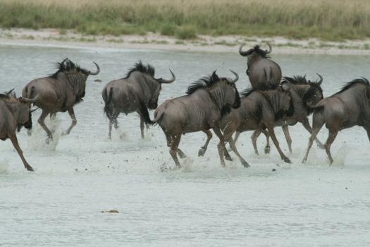 Blue wildebeest in Etosha Pan. Namibia