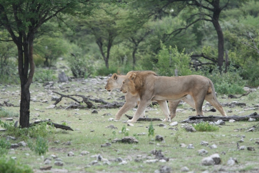 African lions (Panthera leo), Namibia