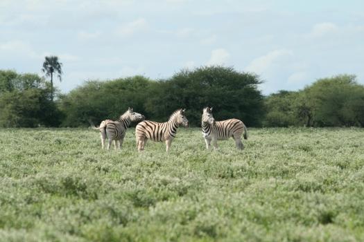 Common zebra (Equus quagga) Namibia.