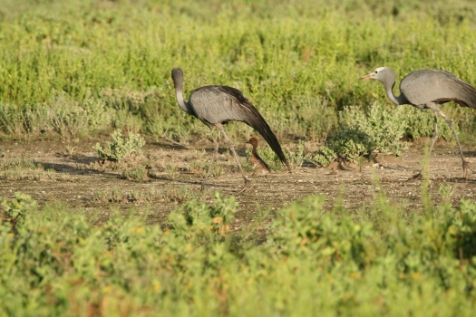 Blue Cranes (Anthropoides paradiseus) with chick. Etosha National Park, Namibia