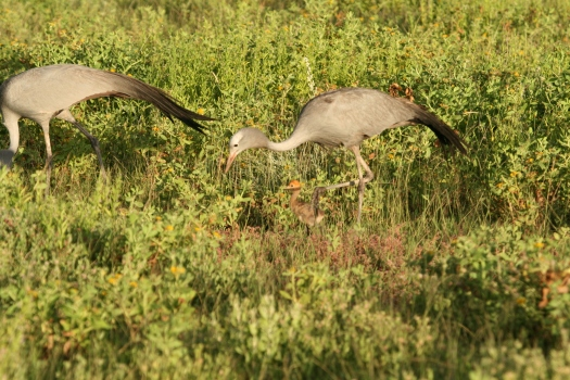 Blue cranes (Anthropoides paradiseus) with chick, Etosha Nataional Park, Namibia