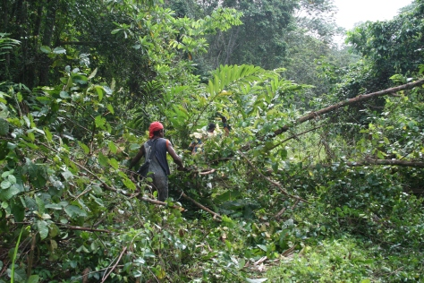 Fallen trees blocking a road into the forest, Campo Ma'an National Park, Cameroon.