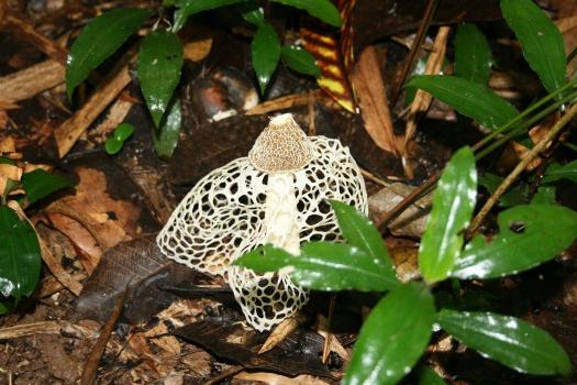Lace mushroom, Dipikar Island, Cameroon.