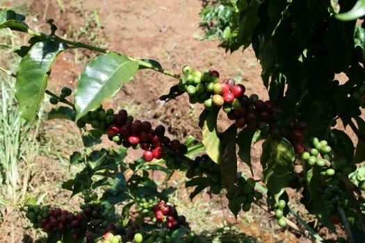 Coffee beans, Chogoria, Kenya