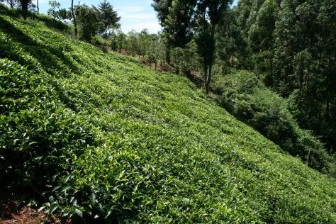 Tea bushes, Chogoria, Kenya