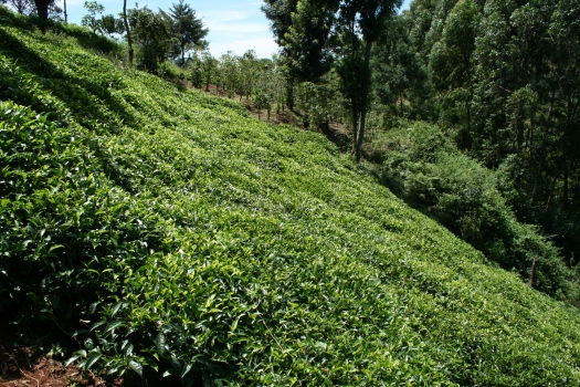 Tea bushes, Chogoria, Kenya