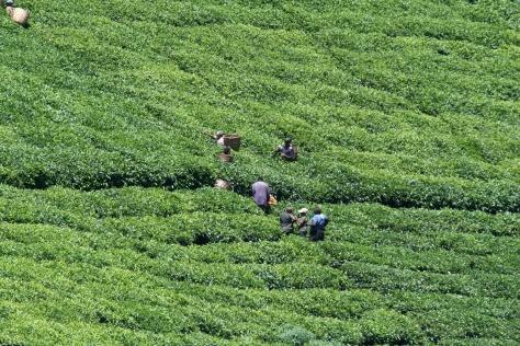 Tea pickers, Chogoria, Kenya