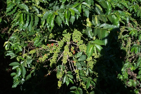 Coffee bush loaded with beans, Chogoria, Kenya.